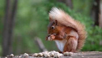 Gatehouse Red Squirrels need you help